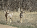 A couple of young mule deer