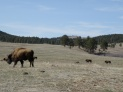 Bison on the 71000 acre landscape of Custer State Park
