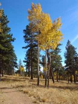 Aspen gold on the Staunton Ranch Trail