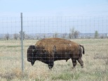 Majestic bison have a home here