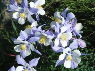 Colorado state flower, the Columbine