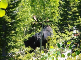 Very exciting and lucky to capture this shot of a bull moose today